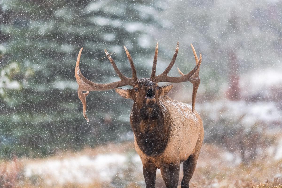 Snowy Bugle